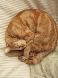 my lil ginger cat Weasley curled up asleep like a hedgehog (I can relate Rachelle..I have the same..!)...LOL