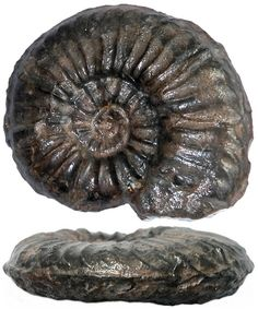 Play Dough, Extinct, Ammonite, Dinosaurs, Geology, Clay, Snail, Clays, Modeling Dough