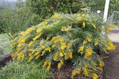 Name: Grevillea Golden Lyre  Origin: Cultivar (Grevillea 'Honey Gem' and the species Grevillea formosa)  Description: This grevillea has arching branches and green/yellow brush flowers in summer and autumn. The bush flowers over a long period and the flowers are highly bird attracting. In ideal conditions it may reach 2m (6') or more in height with a possible spread of 3metres.  Cultivation: Likes an open aspect in well drained soil in full sun. Australian Flowers, Australian Native Garden, Australian Plants, Landscaping Plants, Front Yard Landscaping, Native Australians, Outside Plants, Drought Tolerant Landscape, Landscape Plans