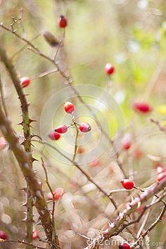 Wild rose bush # wild rose  #autumn
