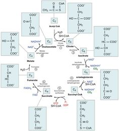 Overview and steps of the citric acid cycle, also known as the Krebs cycle or tricarboxylic acid (TCA) cycle. Chemistry Classroom, Teaching Chemistry, Science Chemistry, Ap Biology, Molecular Biology, Biochemistry Notes, Citric Acid Cycle, Biomedical Science, Organic Chemistry