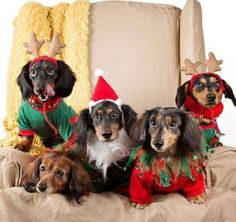 I love Dachshunds's photo.