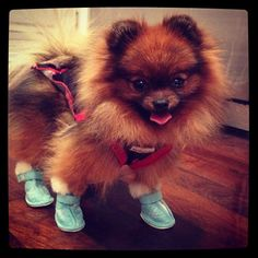This pomeranian belongs to a famous celeb AND wears the cutest shoes ever