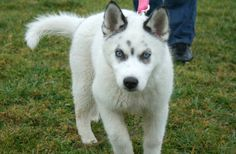 """"""" Siberian Husky, wolf mix."""" - I can't even.      Who actually thinks this looks like a wolf?!? IT DOESNT. Is a husky."""
