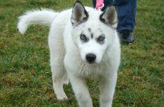 Siberian Husky, wolf mix.