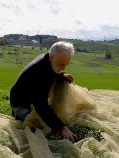 harvest our olives #tuscany #lifeintuscany