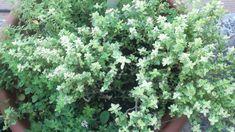 Thym, romarin et gingembre : le trio choc pour un hiver en pleine forme ! Peps, Parsley, Plants, Lemon Slice, Small Bouquet, Jelly, Drinks, Plant, Planets