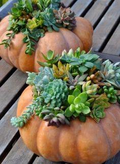 succulent_pumpkin_at_southwest_gardener use Cinderella or fairytale pumpkin