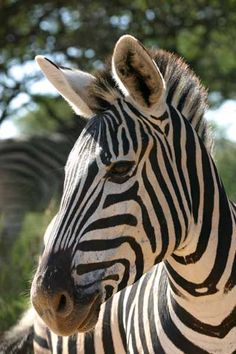 Zebra (Equus quagga) portrait showing head and torso - Million Feed hashtags Wild Animals Photos, Animals And Pets, Baby Animals, Cute Animals, Zebra Drawing, Zebra Painting, Drawing Art, Zebra Decor, Zebra Art