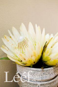 Wit Protea's / Fotograaf: Candice Askham/ Stilering: Juane Pieterse Flower Cafe, Pretty Flowers, Art Flowers, Protea Flower, Naturally Beautiful, Flora, Afrikaans, Dinner, Nice Things