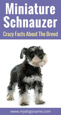 Everything you need to know about the Miniature Schnauzer. Size, behavior health and so much much. If you're thinking about getting this breed of dog, this is a must read!!