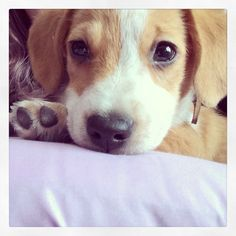 Corgi beagle mix. Toby