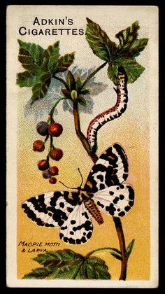 Cigarette Card - Magpie Moth | Flickr