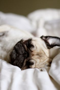 teeny tiny sleepy pug face - so freakin cute.    i <3 when Mitzi's ears do that when she sleeps :D