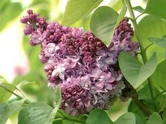 The experts at HGTV.com show how to select, plant, prune and propogate lilacs in your garden.