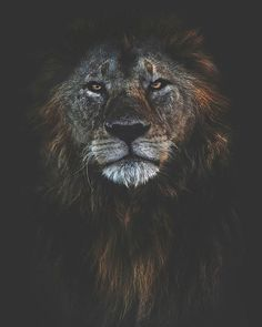 When the dust settles and the hills of Makoma swallow the sun, he shall rise. Tiger Wallpaper Iphone, The World Is Flat, Old King, Big Cats, Lions, Amazing Art, Wildlife, Creatures, Animals