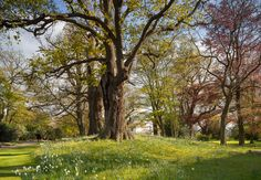 Arching oaks