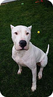Cypress, CA - Dogo Argentino. Meet Cash, a dog for adoption. http://www.adoptapet.com/pet/16016564-cypress-california-dogo-argentino