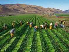 On the Bassetti farm near Greenfield California workers harvest celery to be shipped to retail outlets in the U.S. and Asia [1536  1151]