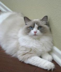 """Ragdoll cat--I had a ragdoll once. He was a great cat named Enchilada. He came when you whistled """"This old man..."""" And he loved to watch you in the bath..."""