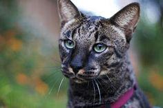 Spatřen Láska Savannah Cat Blog