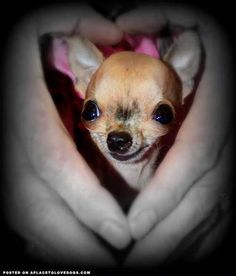 Little Miracle Chihuahua Pup Mia • from APlaceToLoveDogs.com • dog dogs puppy puppies cute doggy doggies adorable funny fun silly photography