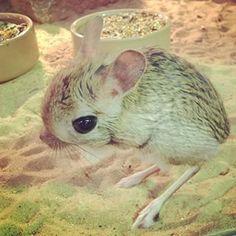 Jerboa tiny desert mouse hops like a kangaroo Kangaroo Rat, Rare Animals, Small Animals, Im Falling In Love, Animal Drawings, Drawing Animals, Animal 2, Mammals, Reptiles