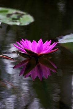 500px / Water lily40 by Zhu xiao ping