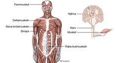 Kropp med muskler Stockholm, Teaching, Learning, Education