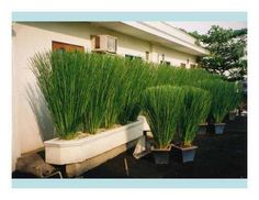 Vetiver in containers for landscaping