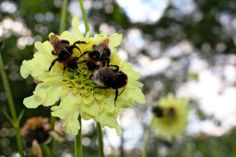 It seems this Cephalaria at Croome is a really tasty flower for bees. Thanks again to Tracey Blackwell for this nature spot.