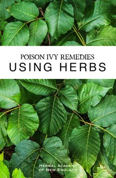 Poison Ivy Remedies Using Herbs - Herbal Academy