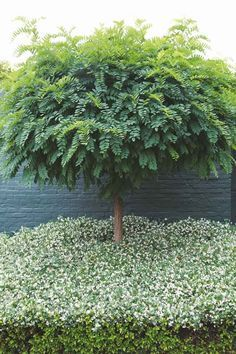 Manicured Robinia hispida tree + star jasmine ground cover :: House and Leisure - Modern Back Gardens, Small Gardens, Outdoor Gardens, Landscaping Supplies, Landscaping Plants, Garden Pool, Garden Trees, Tropical Garden, Jasmine Ground Cover