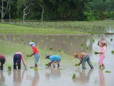 working woman. In Pulau Samosir Sumatra Indonesia