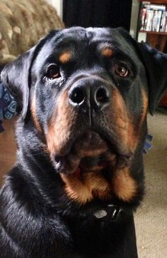 #rottweiler #dogs DEF getting one of these babes soon!