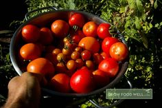 Indeterminate tomatoes go for a long time. Starting A Vegetable Garden, Plant Growth, Home Food, Organic Recipes, Tomatoes, Vegetables, Plants, Veggie Food, Flora