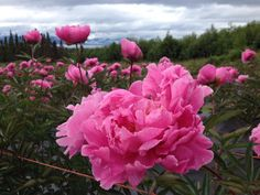 at Alaska Perfect Peony