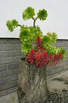 Image detail for -Echeveria rosea