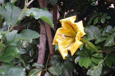 Lovely trumpet flower (Solandra Glandiflora)