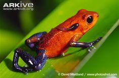 Female strawberry poison frog carrying single tadpole