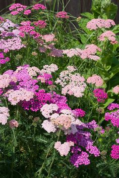 Achillea Summer Berries mixture yarrow | Plant & Flower Stock Photography: GardenPhotos.com Pink Garden, Flowers Perennials, Garden Shrubs, Yarrow Plant, Achillea, Little Garden, Perennials, Summer Berries, Garden Plants
