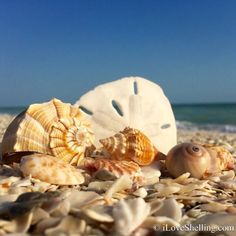 Guide to find seashells Conch Shells Sand Dollars. How and Where To Collect, Beach Comb on Sanibel, Captiva, Southwest Florida Islands Lee County. Shells And Sand, Sea Shells, Conch Shells, Lotus Pond, Captiva Island, Shell Collection, Paradise Found, Shell Beach, Us Beaches