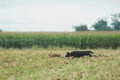Chien prêt à attraper un lièvre chassé en battue.