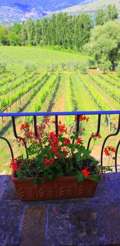 Flowers by the Vineyard at Casale Verde Luna, Piglio, Italy