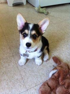 Bambam was so cute this morning.  Couldn't help but snap this #corgination @Corgi Club #corgi #puppy