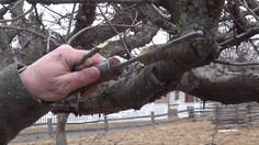 How to graft apple trees.  From the Genesee Country Village and Museum