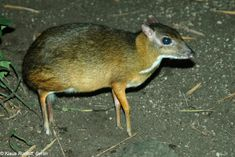 chevrotain or deer mouse..i want one