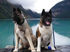 Two Akitas named Joji and Musha. #pets