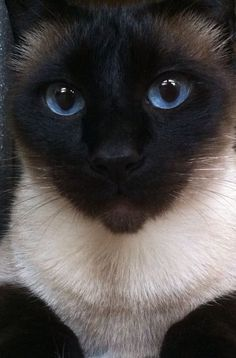 10 Most Friendliest Cat Breeds.  Pictured:  Seal Point Siamese: they are very intelligent, talkative, affectionate, and develop a deep bond with their owners. :-)