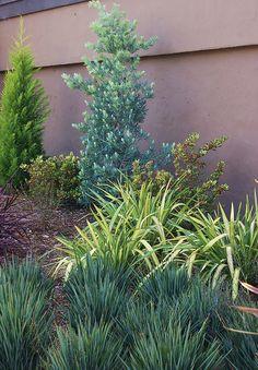 podocarpus elongatus 'icee blue'-- tall shrub against house Tropical Landscaping, Tropical Plants, Podocarpus Hedge, Shrubs For Privacy, Privacy Hedge, Silver Plant, Tall Shrubs, Harvest Day, Drought Tolerant Landscape